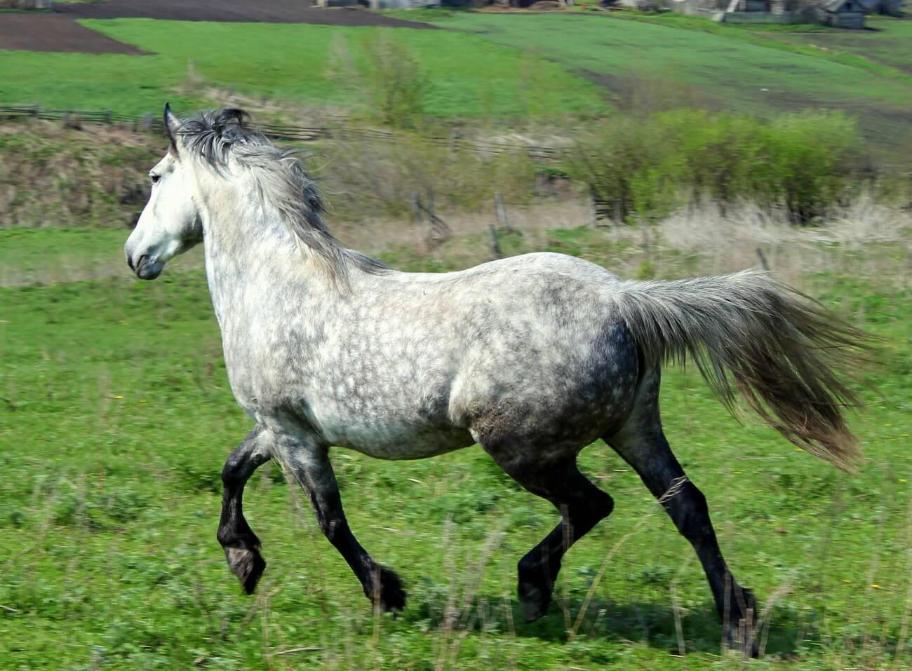 Порода лошадей Орловский рысак, их историческое появление, характерные особенности