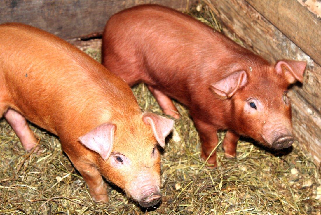 фотографии свиней дюрок которые хотят