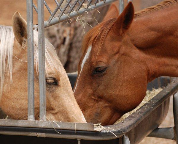 Рацион кормления лошадей