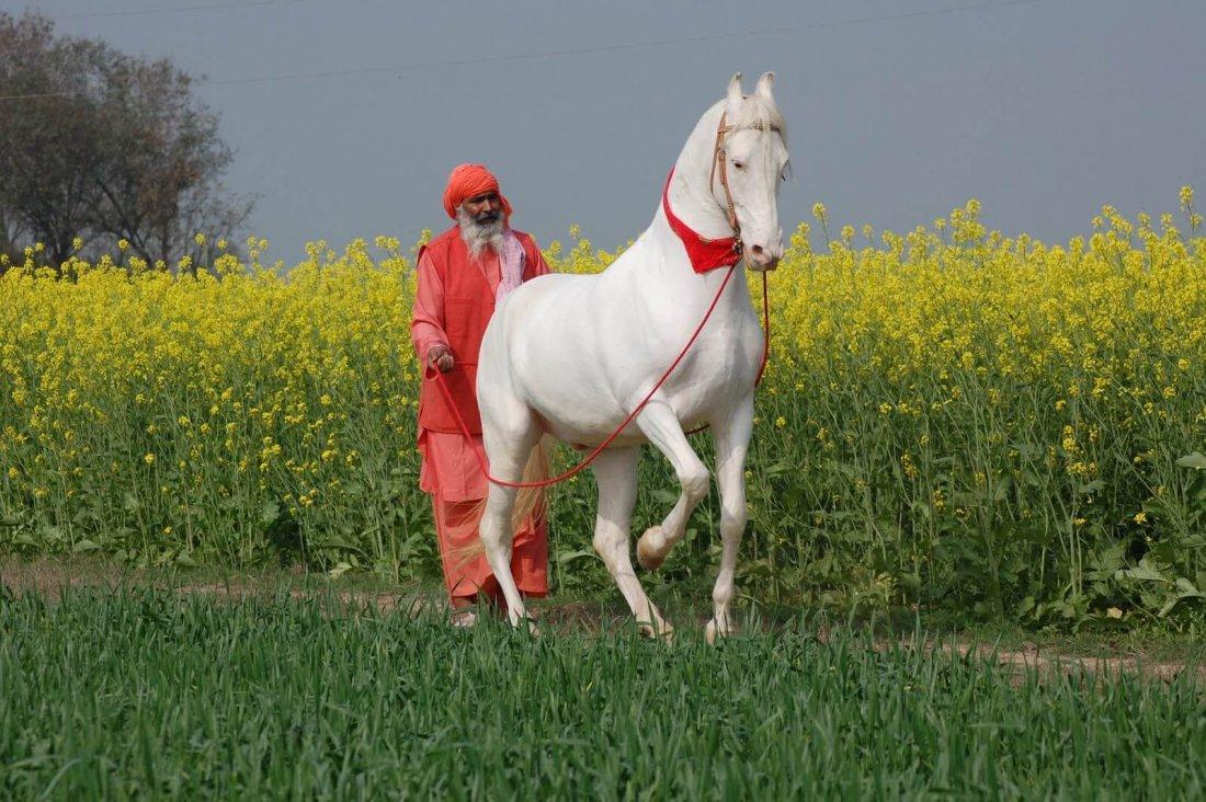 Старик и белая лошадь