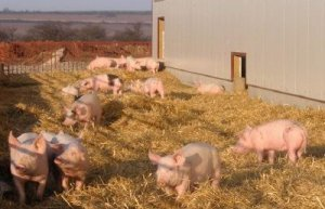 Свинарник на домашнем подворье