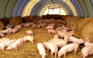 Свинарник в фермерском хозяйстве
