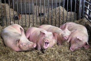 Свинки в свинарнике
