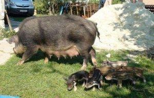 Свиноматка Кармал с поросятами
