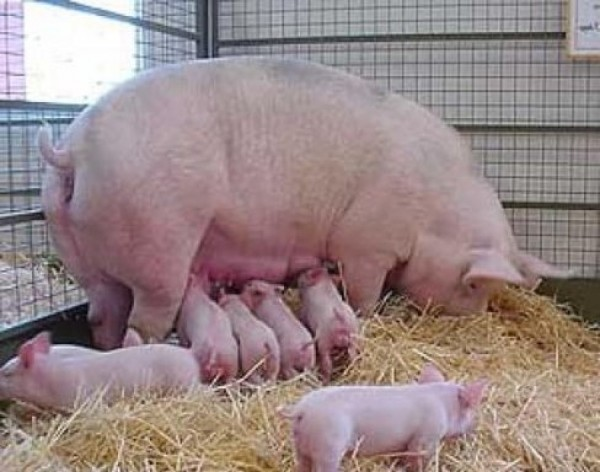 Свиноводство: это настоящий прибыльный бизнес