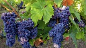 Виноград: способы размножения и сортовой ассортимент