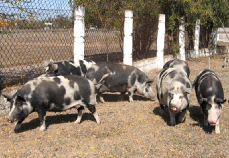 Сальные породы свиней в российском животноводстве