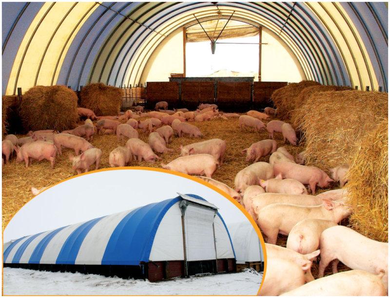 Канадская технология выращивания свиней