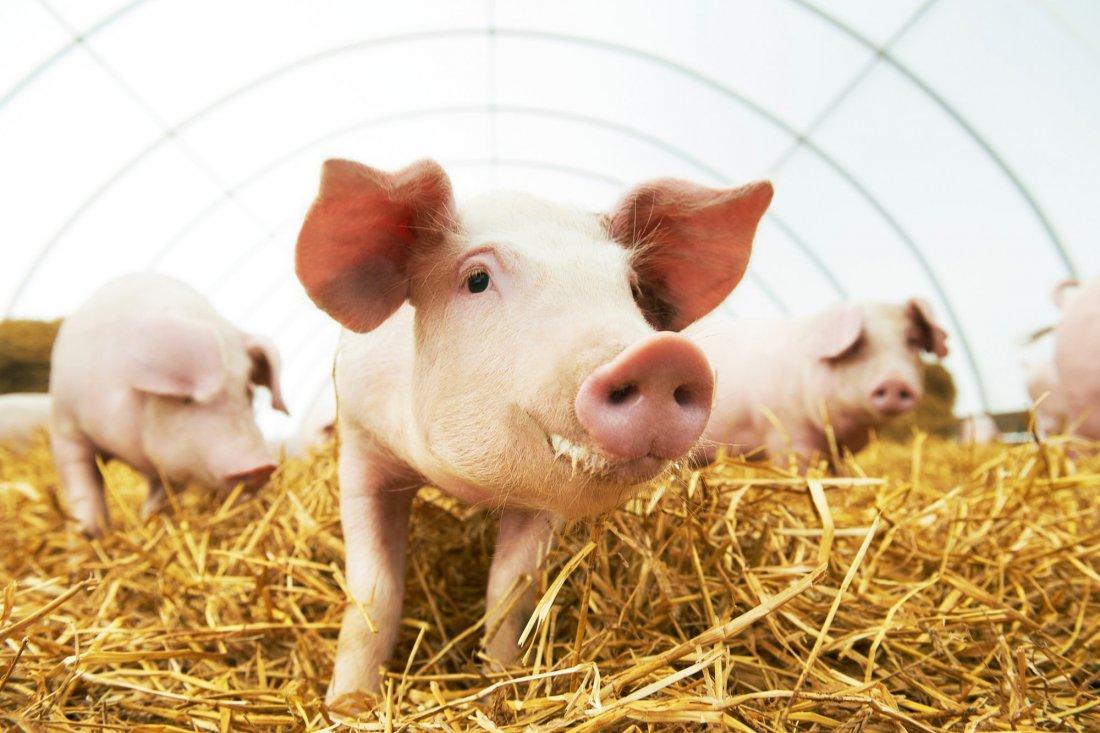Выгода от разведения свиней