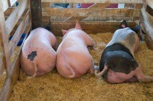 Разведение свиней в домашних условиях для начинающих: мастерим свинарник и составляем бизнес-план