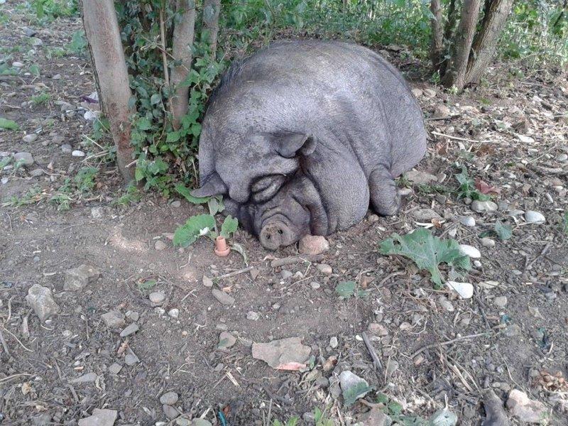 Заболевания вислобрюхих свиней