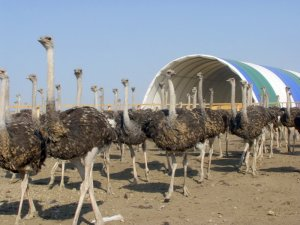 Бизнес на страусиной ферме