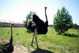 Как разводят страусов: калорийность и состав мяса