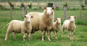 Фризские овцы