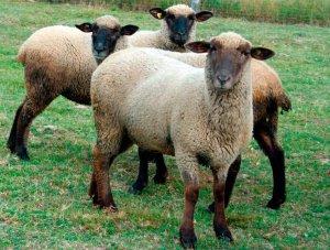 Горьковская порода овец в России