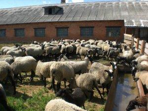 Бизнес план овчарня бизнес план мука зерно