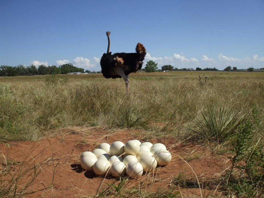Кладка страусиных яиц