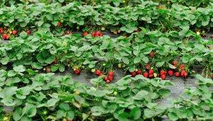 Клубника из семян: выращивание, дачные хитрости по уходу