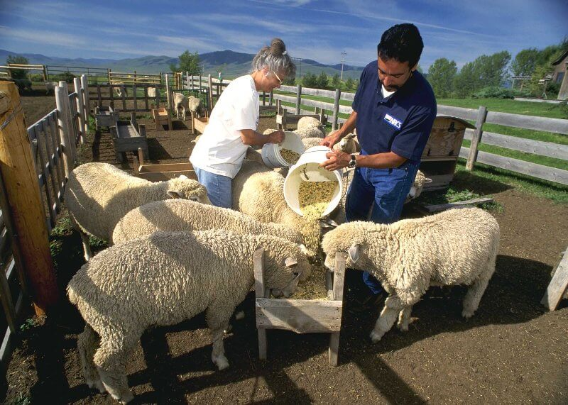 Что едят бараны: от этого во многом зависит успех овцеводства