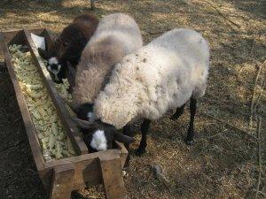 Кормушки для овец расположены в тени