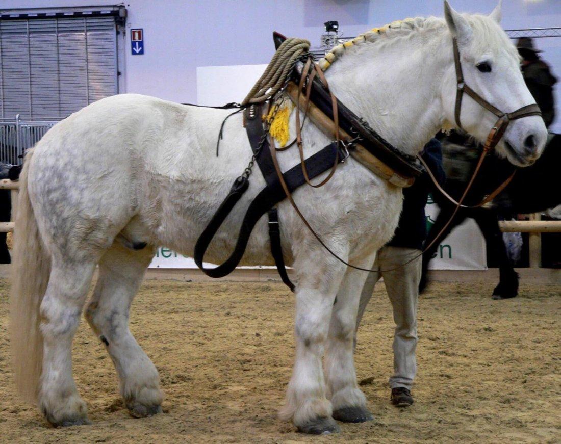 Лошадь в хомуте