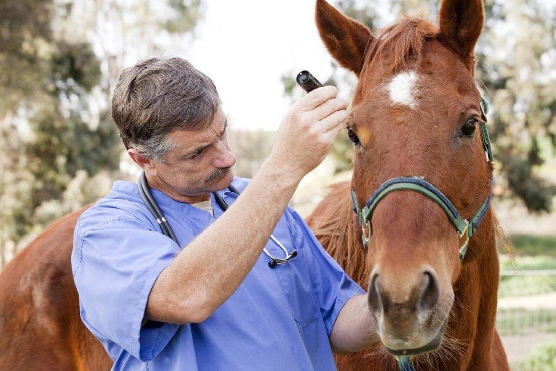 Лошадиный грипп передается человеку