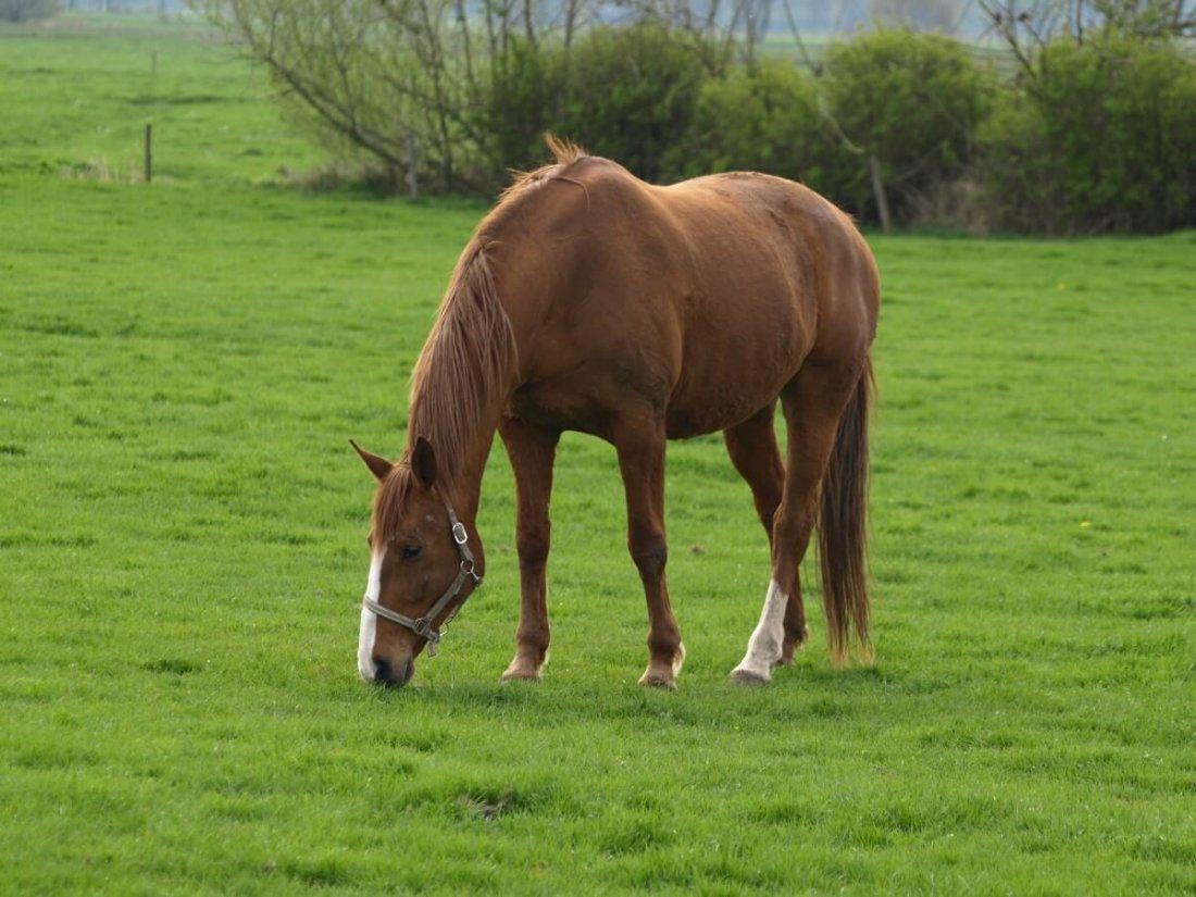Молодая кобыла пасется по зеленой траве