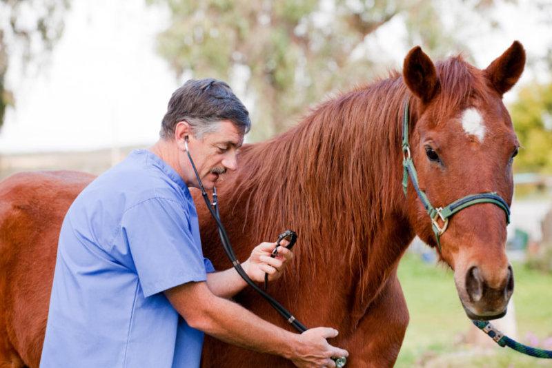 Осмотр лошадей ветеринаром перед спариванием