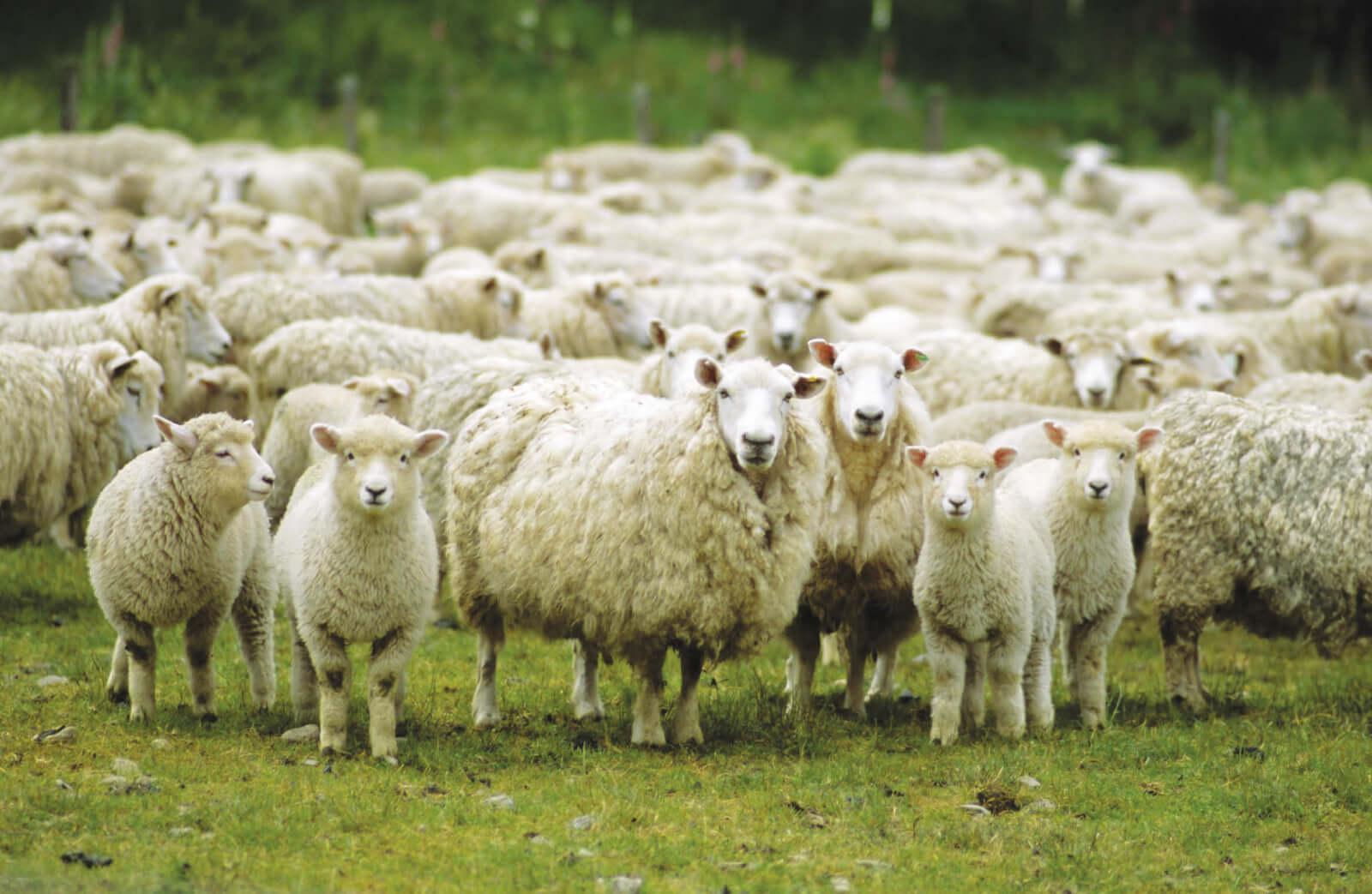 Овцеводство – это одна из главых линий животноводства