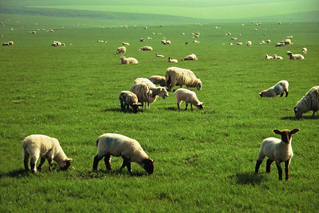 Овцы на зеленом выпасе