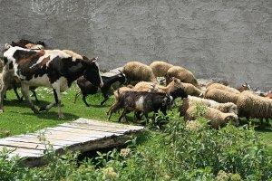 Овцы пасутся с козами и коровами