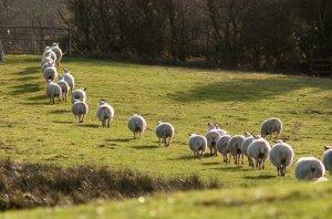 Овцы возвращаются домой