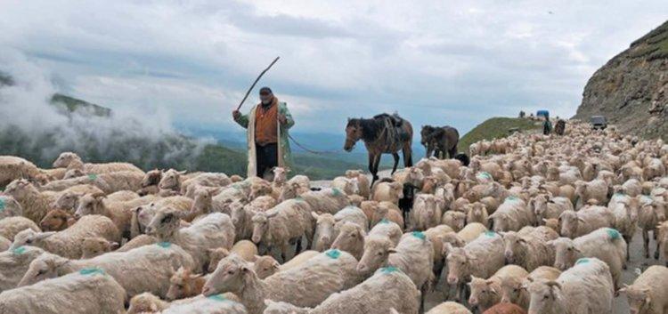 Перегон овец в Дагестане
