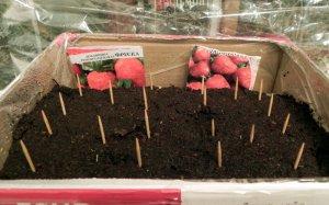 Посев земляники садовой