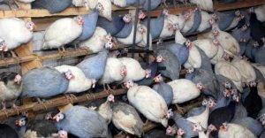 Как разводить цесарок: советы для начинающих птицеводов