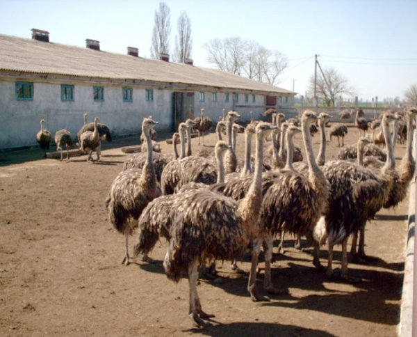 Ретабельность страусиной фермы