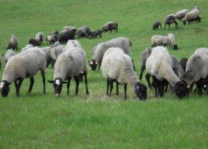 Овцы Романовской породы: характеристика и продуктивность