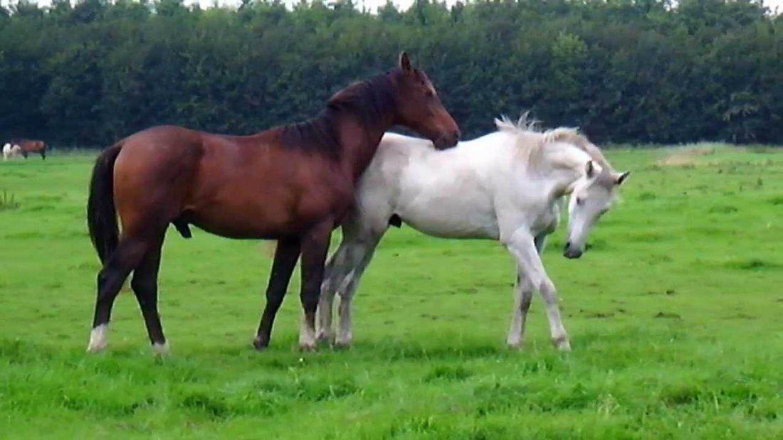 Спаривание лошадей в природе