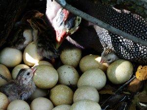Цесарка на яйцах