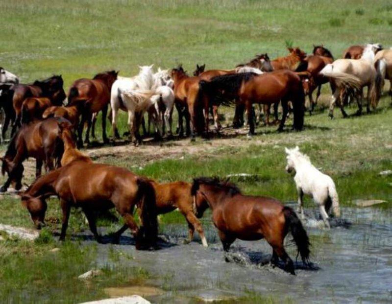 Табунное содержание лошадей