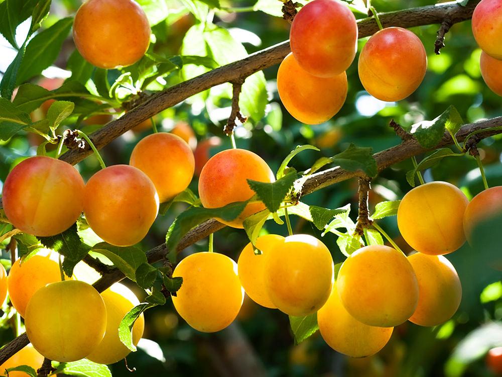 Желтые плоды