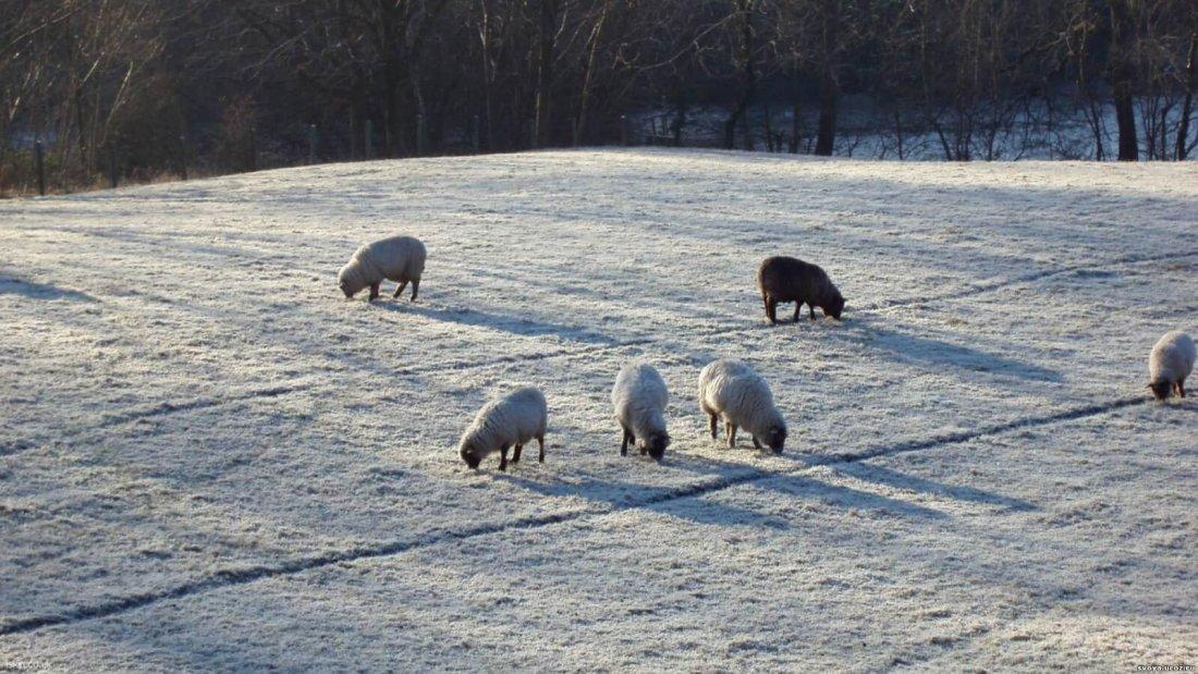 Зимний выпас овец