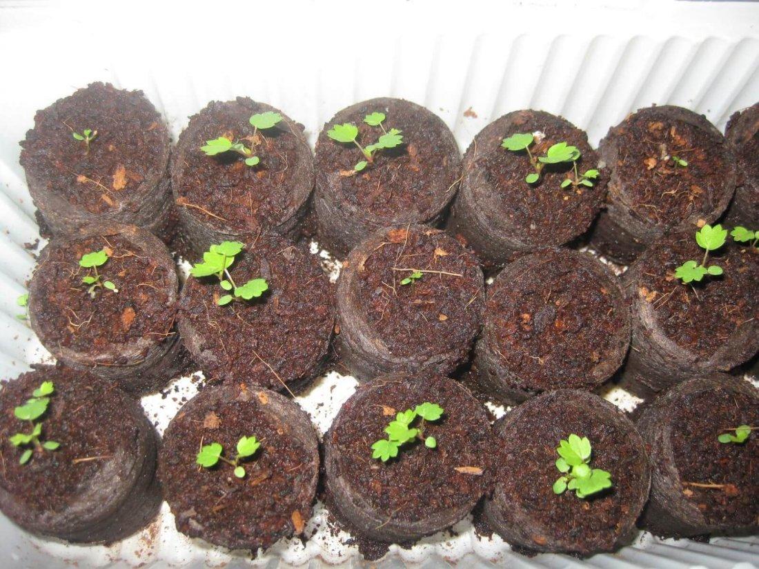 Сеянцы земляники в торфяных таблетках