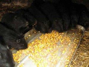 Зерновой состав для кормления нутрий