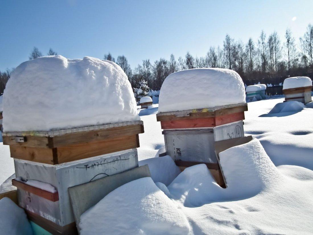 Зимовка пчел под снегом