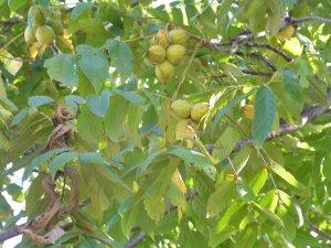 Посадка и уход за маньчжурским орехом: нюансы и особенности