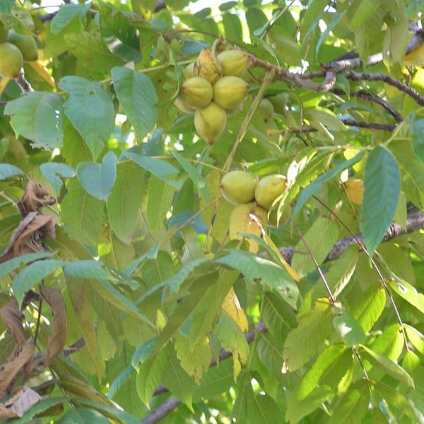 Дерево манчьжурского ореха