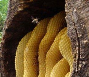 Ловля диких пчел: особенности этого процесса