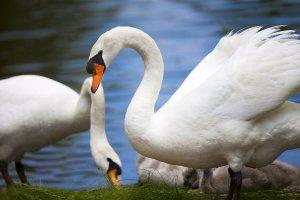 Домашнее содержание лебедей