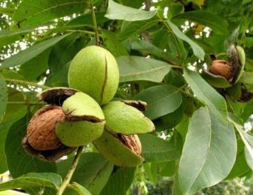 Какие орехи растут в России: все разновидности